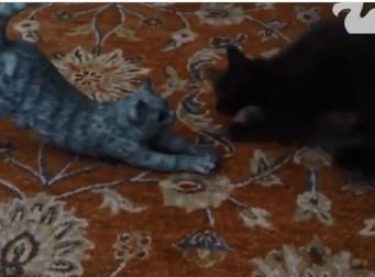 가짜 고양이를 본 고양이 반응은?(동영상)