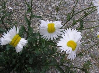 """일본 후쿠시마 인근에 나타난 """"기형 들국화꽃"""""""