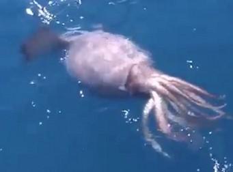 선원들이 잡은 물고기에 달려든 대왕오징어(동영상)