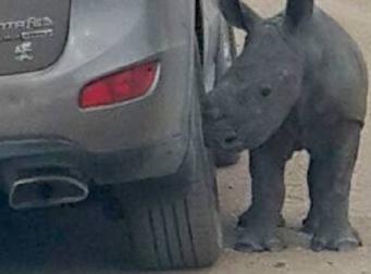 엄마 잃은 아기 코뿔소는 자동차를 엄마로 착각..