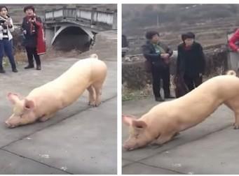 중국 사찰에서 기도하는 돼지 화제 (동영상)