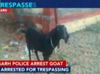 경찰에 '체포'된 염소… 이유는?(동영상)
