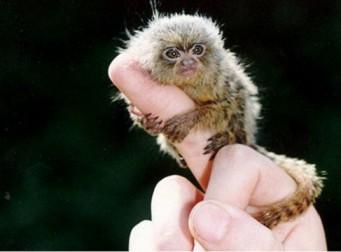 중국 재벌들의 최신 애완동물 미니원숭이 피그미 마모셋