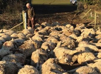 '이것' 때문에 양 116마리를 잃은 목양업자 (사진3장)