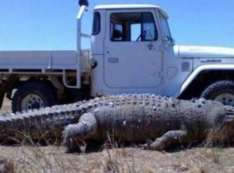 악어인가 공룡인가, 트럭크기와 비슷한 역대급 악어 '화제'