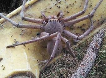 대게처럼 생긴 '공포의 거미' 인기