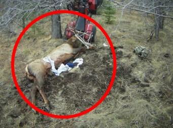 사냥 당한 사슴의 복수?