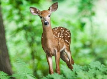 사냥꾼이 쏜 총에 맞아 뒷발굽이 잘려나간 사슴