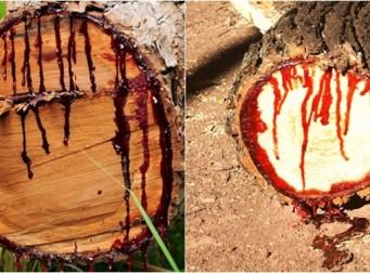 '내 뿌리 내놔' 공포의 피 흘리는 나무 (사진 7장)