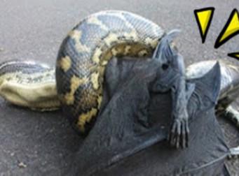 제대로 싸움이 붙은 '대형박쥐VS비단뱀' , 과연 승자는? (동영상)