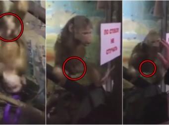 동물원 놀러온 방문객 쳐다보며 자위하는 원숭이 (동영상)