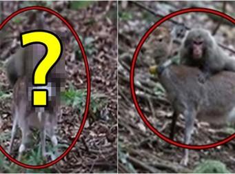 세계 최초로 촬영된 '사슴하고 섹스하는 원숭이' (동영상)