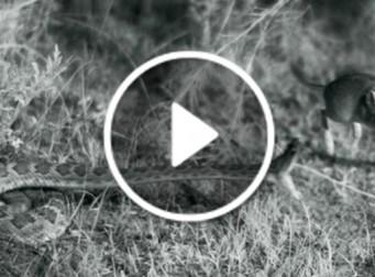 쥐 사냥 하는 방울뱀의 모습(동영상)