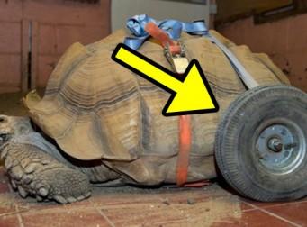 밤낮 안 가리고 '성관계'에 빠진 거북이, 결국 휠체어 탔다