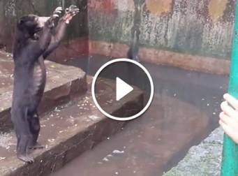 제대로 먹지못해 동물원 관람객에게 먹이 구걸 하는 곰들 (동영상)