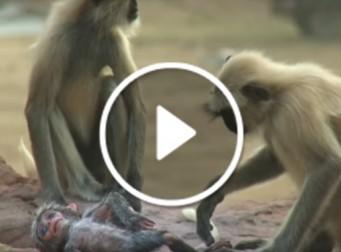 친구의 죽음에 괴로워 하는 원숭이 모습(동영상)