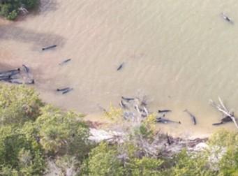 고래 백 마리가 떼지어 죽었다