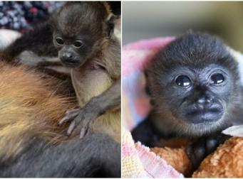 엄마의 죽음을 받아들이지 못하는 새끼 원숭이 (사진 4장)
