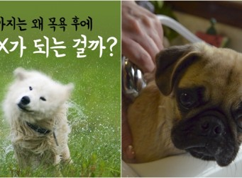 강아지는 왜 목욕 후에 미친 X가 되는 걸까? (사진8장)