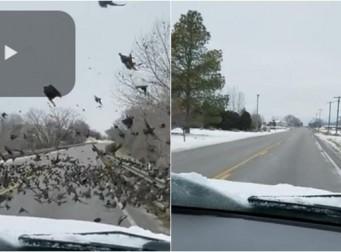차로 새떼를 깔아뭉개 죽이는 운전자 (동영상)