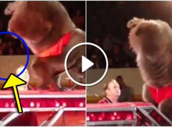 서커스 공연 중에도 곰이 오줌을 싸는 이유 (동영상)