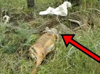 농장에 있던 사슴을 통째로 삼킨 거대한 비단뱀 결국…(동영상)