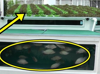 물고기와 야채를 같이 키우는 획기적인 재배법 (동영상)