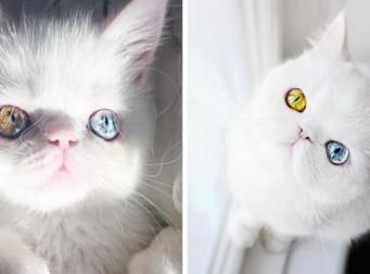 '유전병' 덕분에 오히려 매혹적으로 보이는 고양이 (사진11장)