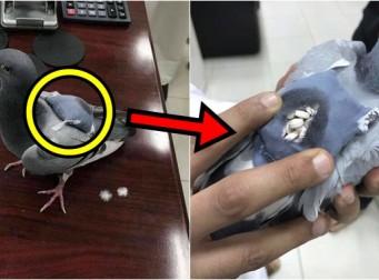 편지가 아닌 '마약'을 운반하는데 사용된 비둘기 (사진3장)