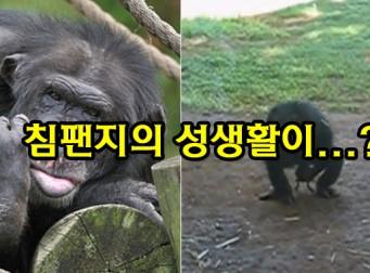 """""""개구리를 잡더니…."""" 개구리를 이용해 '자기위로' 하는 침팬지 (동영상)"""