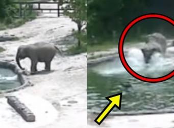 서울대공원이 공개한, 물에 빠진 아기코끼리 구하는 엄마코끼리 (동영상)