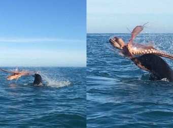 바다표범과 죽을 힘을 다해 싸운 문어 (동영상)