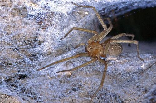 PAY-Chilean-recluse-spider